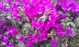 Purple flowers. Exotic plant, exotic flowers. A bush of purple flowers with green leaves Stock Photos