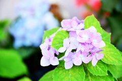 Purple flowers face clear after blurred. Purple flower blooming is a distinctive bush in the middle of the garden, the natural beauty of flowers Stock Image