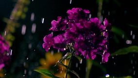 Purple flowers and falling drops of water at night. Super slow motion video, 500 fps