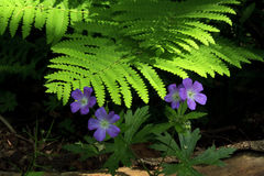 Purple flowers and fern on the Ice Age Trail Stock Photo