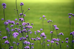 Purple Flowers in the Field Royalty Free Stock Photography