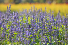 Purple flowers in field against yellow blurry background Royalty Free Stock Photos