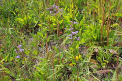 Purple flowers field 18379 Royalty Free Stock Photo