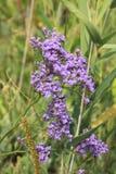 Purple flowers field 18434 Royalty Free Stock Image