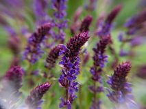 Purple flowers in a field royalty free stock photos