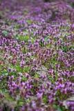 Purple flowers field Stock Photo