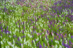 Purple flowers. Royalty Free Stock Images