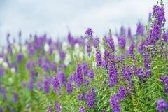 Purple flowers. Field of purple flowers in the garden Stock Photos