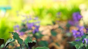 Purple flowers in a field moving camera stock footage
