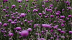 Purple flowers field at summer stock video footage