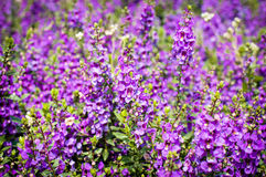 Purple flowers in the field,summer or spring background Stock Photo