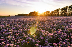 Purple flowers field on the sunset. Phacelia plantation. Honey plants. Beautiful countryside natural landscape Royalty Free Stock Photos