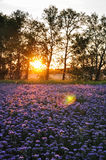 Purple flowers field on the sunset. Phacelia plantation. Honey plants. Beautiful countryside natural landscape Royalty Free Stock Photo