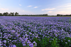 Purple flowers field on the sunset. Phacelia plantation. Honey plants. Beautiful countryside natural landscape Stock Photo