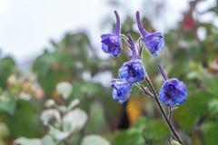Purple flowers. The flourishing, Thailand  the flourishing, Thailand ,   close-up Royalty Free Stock Photo