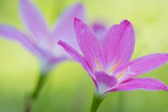 Purple flowers. Purple flower in the garden from Thailand Royalty Free Stock Photo