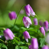 Purple flowers. Purple flower.Green background.Small flowers in the forest Stock Photo
