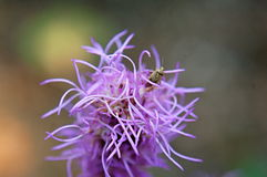 Purple  flowers. Purple flower, spiky petals, the beetle that lives in the plant Royalty Free Stock Photography
