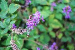 Purple flowers. Purple flower , Thailand Purple flower , Thailand Purple flower in Chiang Dao, Little purple flowers Royalty Free Stock Images