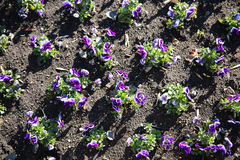 Purple flowers in the flowerbed Stock Photos