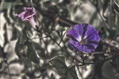 Two Purple flowers Royalty Free Stock Photos