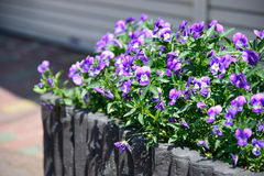 Purple flowers on footpath Stock Image