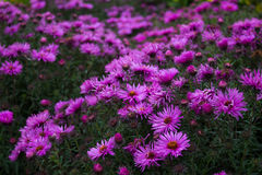Purple Flowers. Foreground in focus, background out of focus Royalty Free Stock Photography