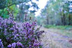 Purple Flowers in Forest Stock Photography