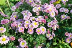 Purple flowers in full bloom Stock Images