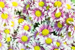 Purple flowers in full bloom Royalty Free Stock Image