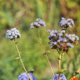 Purple flowers in the garden.  royalty free stock images