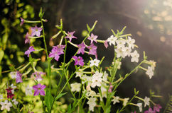 Purple flowers in the garden. Beautiful purple flowers in the garden in sunlight, fragrant tobacco Stock Photo