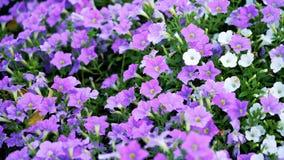 Purple flowers in the garden --flowers in the garden - -beautiful flower royalty free stock photo