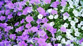 Purple flowers in the garden --flowers in the garden - -beautiful flower stock photos