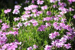 Purple flowers in the garden royalty free stock image