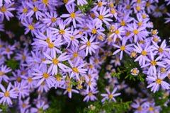 Purple flowers in a garden Stock Photos
