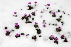 Purple flowers on a garden lawn make their way from under cold white snow Royalty Free Stock Image