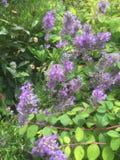 Purple flowers in a  garden. Purple flowers in a garden scene Stock Photography