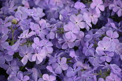 Purple Flowers in a Garden Royalty Free Stock Photography