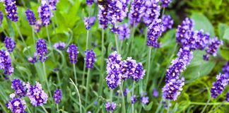Purple flowers in garden stock images