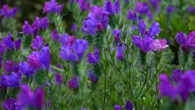 Purple flowers gently blowing during a spring afternoon. Purple lupine flowers grow in a stark volcanic landscape stock footage