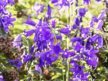 Giant bellflowers, Campanula latifolia, blooming in the garden stock photos