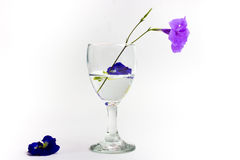 Purple flowers in a glass of water, white background Royalty Free Stock Image