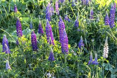 Purple flowers in the grass in the meadow. Purple lupine flowers in the grass on a meadow in the spring afternoon royalty free stock photos