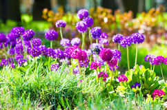 Purple flowers grass spring flower beds Royalty Free Stock Photos