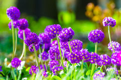 Purple flowers grass spring flower beds Royalty Free Stock Images