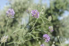 Purple flowers. Green background Royalty Free Stock Images