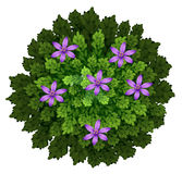 Purple flowers in green bush Royalty Free Stock Photo