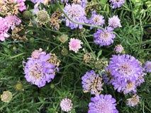 Purple flowers in green grass stock image