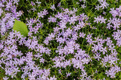 Purple flowers and green leaves background. Small light purple flowers and green leaf on green background Stock Photos